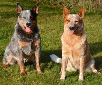 Australian Cattle Dog Adults Canada