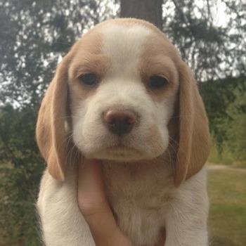Beagle puppy Canada