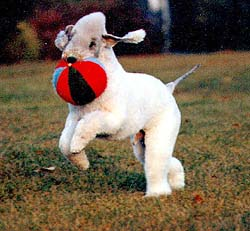 Bedlington Terrier Adult Canada