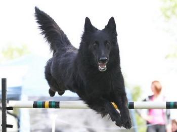 Belgian Shepherd puppy Canada