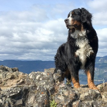 Bernese Mountain Dog Adult Canada