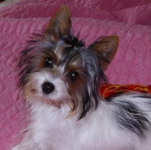 Biewer puppy Canada