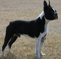 Boston Terrier Adult Canada