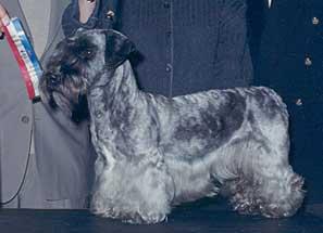 Cesky Terrier Adult Canada