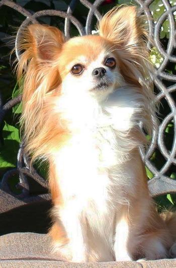 Chihuahua (long coat) puppy Canada