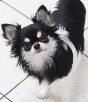 Chihuahua (long coat) Adult Canada