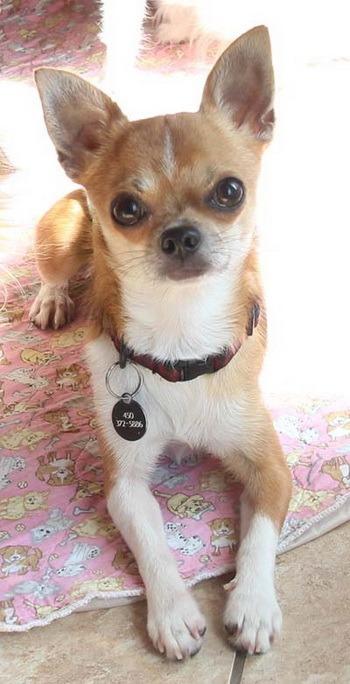 Chihuahua (short coat) Adult Canada