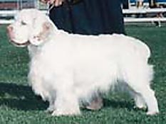 Clumber Spaniel Adult Canada