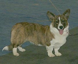 Cardigan Welsh Corgi Adult Canada