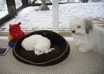 Coton de Tulear puppy Canada