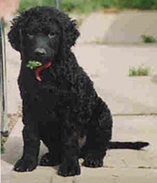 Curly-Coated Retriever puppy Canada