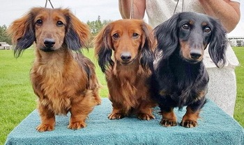 Long haired miniature dachshund calgary