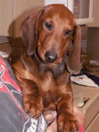 Adorable miniature dachshund puppy for sale in suffolk, virginia