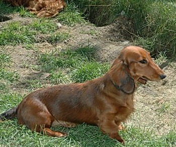 Standard Long-haired Dachshund Adult Canada