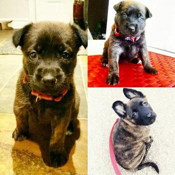 Dutch Shepherd puppy Canada