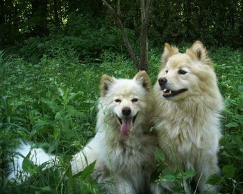 Finnish Lapphund Adults Canada