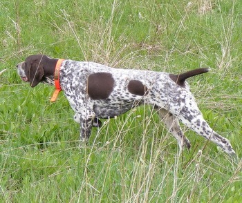 German Shorthaired Pointer Adult Canada