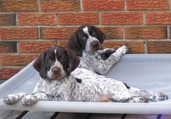 German Shorthaired Pointer puppies Canada