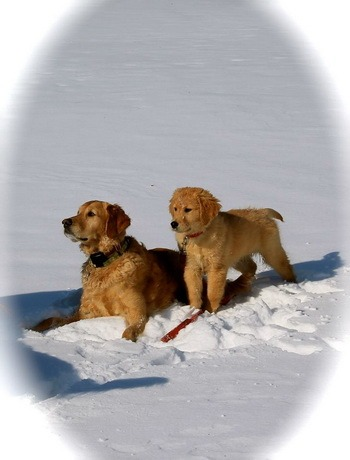 Golden Retriever Adult Canada