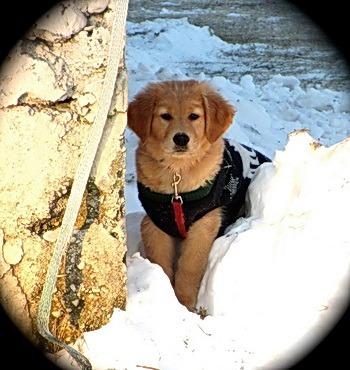 Golden Retriever puppy Canada