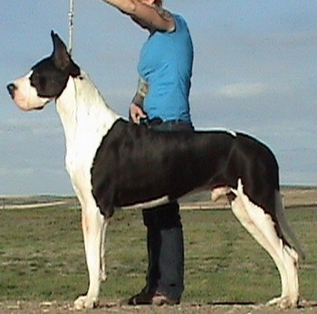 Great Dane Adult Canada