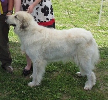 Great Pyrenees Adult Canada