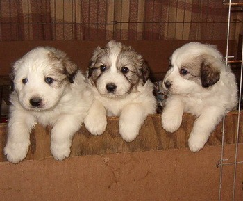 Great Pyrenees puppies Canada