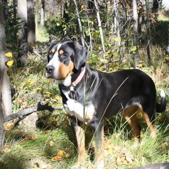 Greater Swiss Mountain Dog Adult Canada