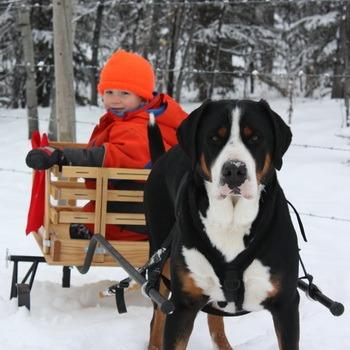 Greater Swiss Mountain Dog Canada