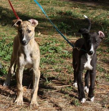 Greyhound puppies Canada