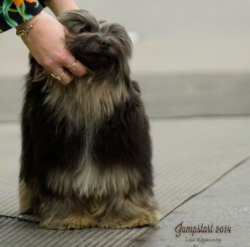 Havanese puppy Canada