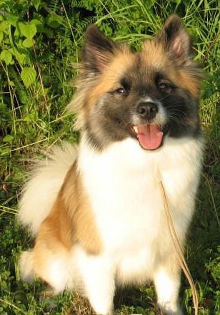 Iceland Dog Adult Canada