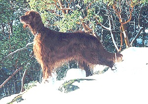 Irish Setter Adult Canada