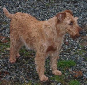 Irish Terrier Adult Canada
