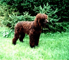Irish Water Spaniel Adult Canada