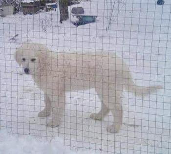 Kuvasz puppy Canada