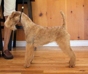 Lakeland Terrier Adult Canada
