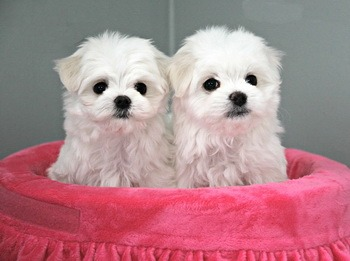Maltese puppies Canada