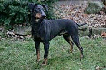 Manchester Terrier Adult Canada