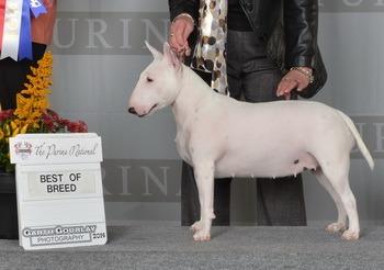 Miniature Bull Terrier Adult Canada