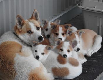 Norrbottenspets puppy Canada