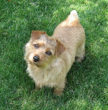 Norfolk Terrier Canada