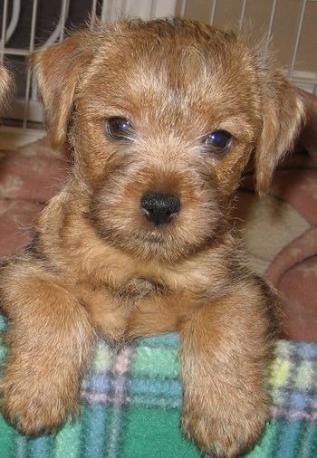 Norfolk Terrier puppy Canada