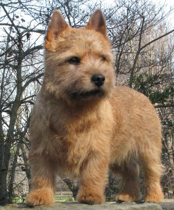 Norwich Terrier Adult Canada