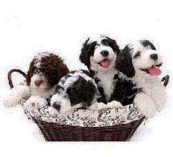 Portuguese Water Dog Breeders Canada - CanaDogs