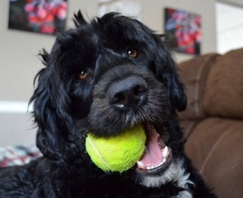 Portuguese Water Dog Adult Canada