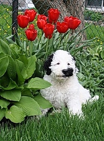 Portuguese Water Dog puppy Canada