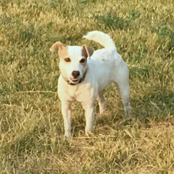 Parson Russell Terrier Canada