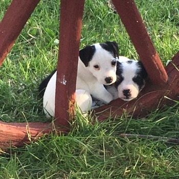 Parson Russell Terrier puppy Canada