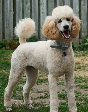 Standard Poodle Adult Canada